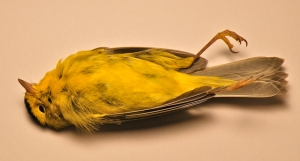 AHY male Wilson's Warbler