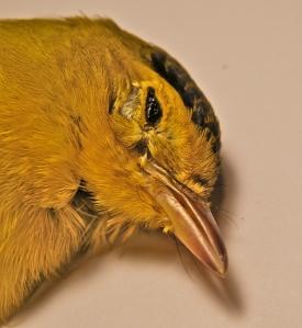 HY male Wilson's Warbler