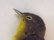 Pointy beak, yellow throat, and bold white eyering on gray hed = Nashville Warbler.