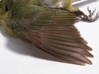Molt limits on display: green tertials contrasting with brown primaries.