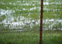 Dozens of Lesser Yellowlegs foraged in this flood field near the Cimarron River in Ripley.