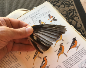 Confirming Baltimore Oriole as the source of the wing.